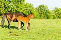 Horse Newborn Foal Farm Stock Photography