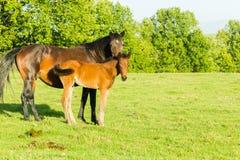 Horse Newborn Foal Farm Stock Photos
