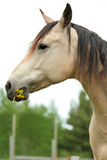 Horse nibbling on grass and dandelions Stock Photography
