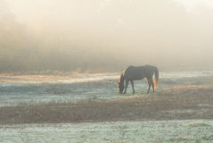 Horse nibbling grass at sunrise in a heavy fog Stock Photo