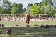 Horse nibbling on short grass Royalty Free Stock Photos