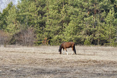 Horse nibbling on short grass Stock Image