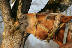 Horse nibbling on a tree. Chestnut horse nibbling on a tree Royalty Free Stock Image
