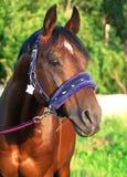 Horse in nice halter Stock Image