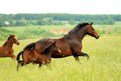 Horse. Nice strong horse that gallops through the meadow solar day Royalty Free Stock Image