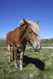 Horse In Norway. A wild horse at the Rondane National Park, Norway Stock Photos