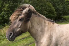 Horse in Norway Royalty Free Stock Photo