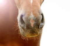 Horse nose Royalty Free Stock Photography