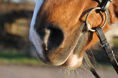 Horse nose closeup portrait Stock Image
