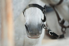 Horse nose closeup. White horse nose closeup shot, details Royalty Free Stock Images