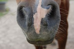 Horse nose and whiskers. Brown horse on a farm in belgium royalty free stock image