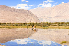 Horse in Nubra Valley Stock Photography