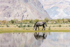 Horse in Nubra Valley Stock Images