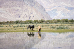Horse in Nubra Valley Royalty Free Stock Photography