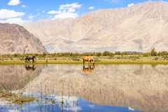 Horse in Nubra Valley Stock Photos