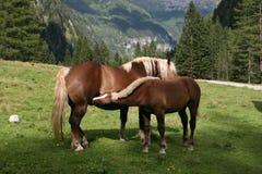 Horse nursing Stock Image