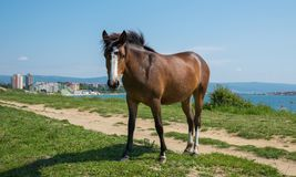 Horse  by the ocean Royalty Free Stock Image