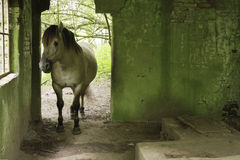 Horse in old building. A konik horse half standing inside a ruin in the Blauwe Kamer nearby Wageningen, The Netherlands. The wall is green of oldness amidst the Stock Images
