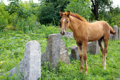 Horse on the Old Jewish cementery Royalty Free Stock Photography