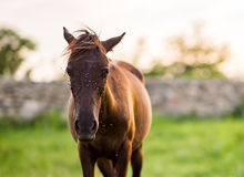 Horse On The Ground With A Lot Of Flies On Its Face Royalty Free Stock Photography
