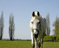 Horse oncoming. A white horse walking towards the camera, blue sky behind Royalty Free Stock Image