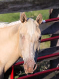 Horse with One Eye. Blond horse with only one eye standing near red gate stock photo