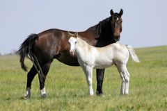 Horse Opposites (Mare & Filly). A mare and filly of opposite colors stand in a wild landscape in the American West (shallow focus royalty free stock photos