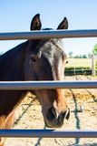 Horse on other side of the fence. Horse other side fence long face peeking peering equine paddock country pen gate pipe brown pet domestic royalty free stock images