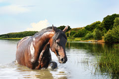 Horse out of the water Royalty Free Stock Images