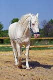 Horse in the paddock. Young cream stallion in the paddock stock images
