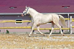 Horse in the paddock. Young cream stallion runs in the paddock Royalty Free Stock Photo
