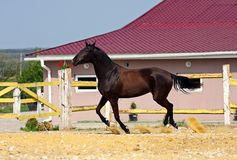 Horse in the paddock. Young brown mare runs in the paddock Stock Image