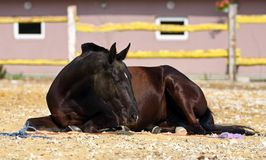 Horse in the paddock. Young brown mare lies in the paddock Stock Photos