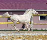 Horse in the paddock. Young cream stallion runs in the paddock Royalty Free Stock Photos