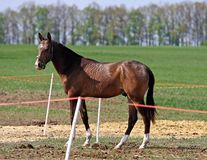 Horse in the paddock. Young bay stallion runs in the paddock Stock Photography