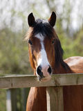 Horse In Paddock Royalty Free Stock Photos