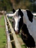 Horse In Paddock Stock Photos