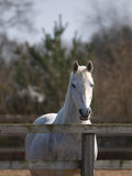 Horse In Paddock Royalty Free Stock Image