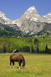 Horse in a paddock at the base of the Tetons Stock Photography