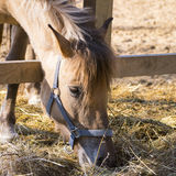 Horse in the paddock  bent and eating dry grass Royalty Free Stock Photography