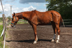 Horse on paddock. Countryside subject Royalty Free Stock Photo