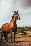 Horse in the paddock, Outdoors, rider Stock Images