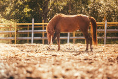 Horse in the paddock, Outdoors, rider. Horse in Levada greens, paddock rider riding, fauna stock photos