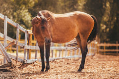 Horse in the paddock, Outdoors, rider. Horse in Levada greens, paddock rider riding, fauna stock images