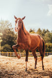 Horse in the paddock, Outdoors, rider Stock Photos