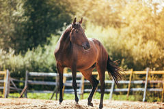 Horse in the paddock, Outdoors, rider. Horse in Levada greens, paddock rider riding, fauna stock photo