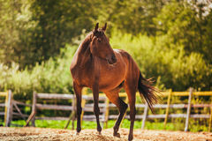 Horse in the paddock, Outdoors, rider. Horse in Levada greens, paddock rider riding, fauna royalty free stock image