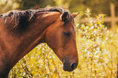 Horse in the paddock, Outdoors, rider. Horse in Levada greens, paddock rider riding, fauna royalty free stock photos