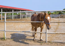 Horse in paddock Royalty Free Stock Photo