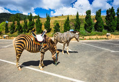 Horse are painted like a zebra in Vietnam. Stock Photography